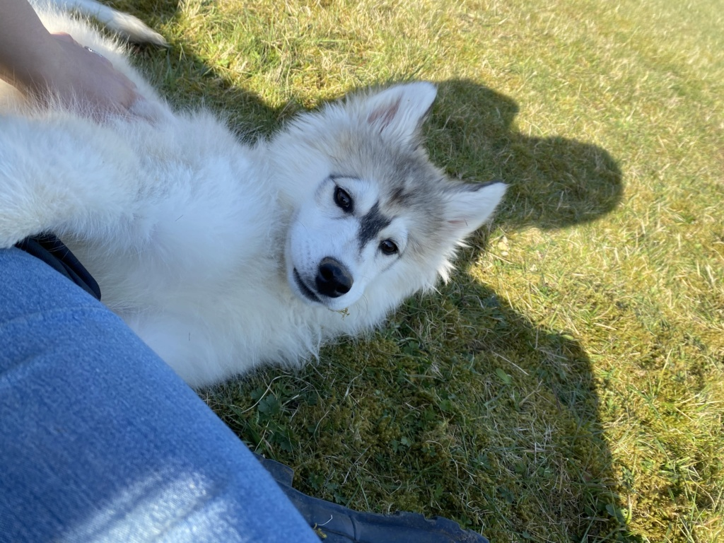 What Colour Is My husky pup 45b91110