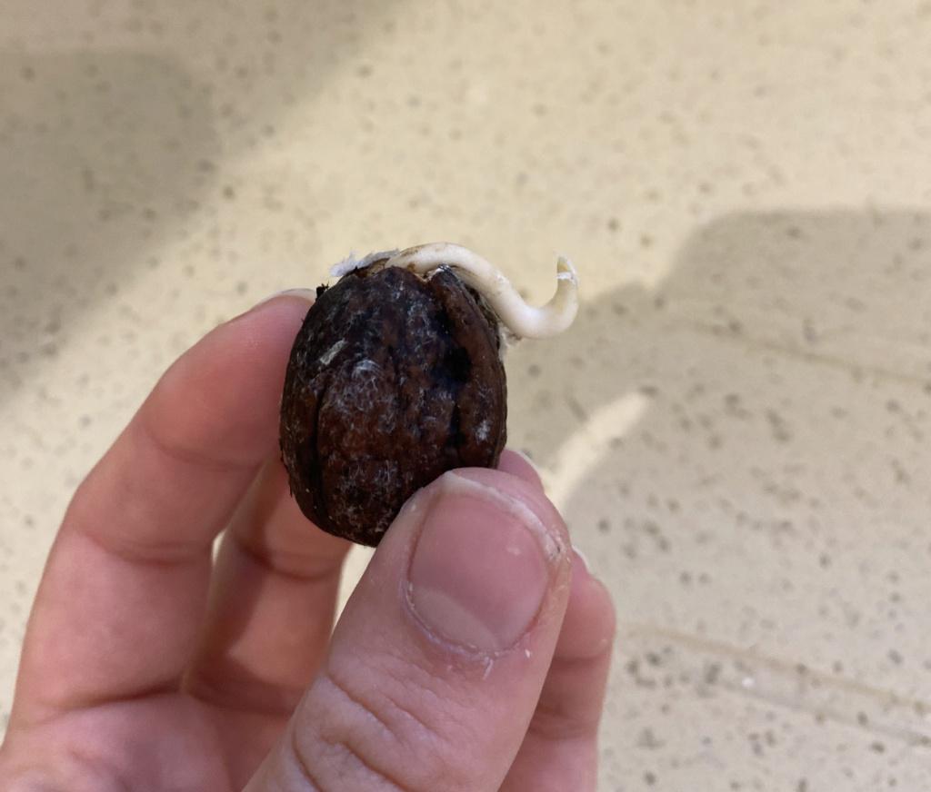 Walnut Tree 57c13410