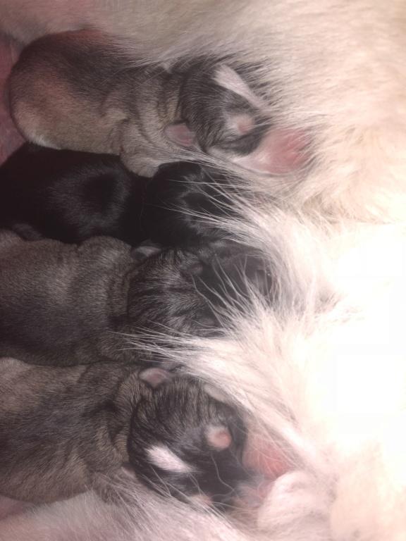 Color of my husky's babies? 6a796610