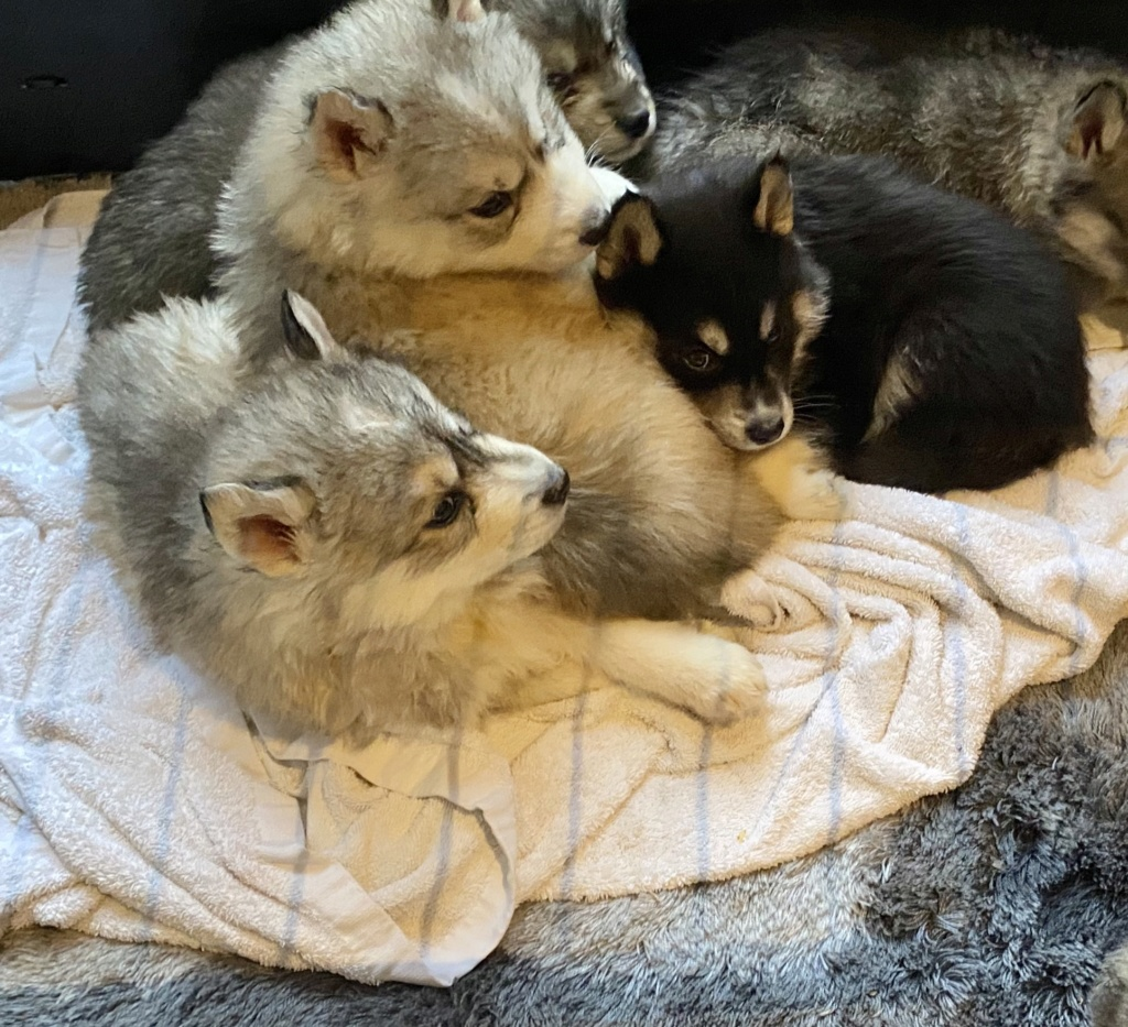 Color of my husky's babies? 8cac3c10