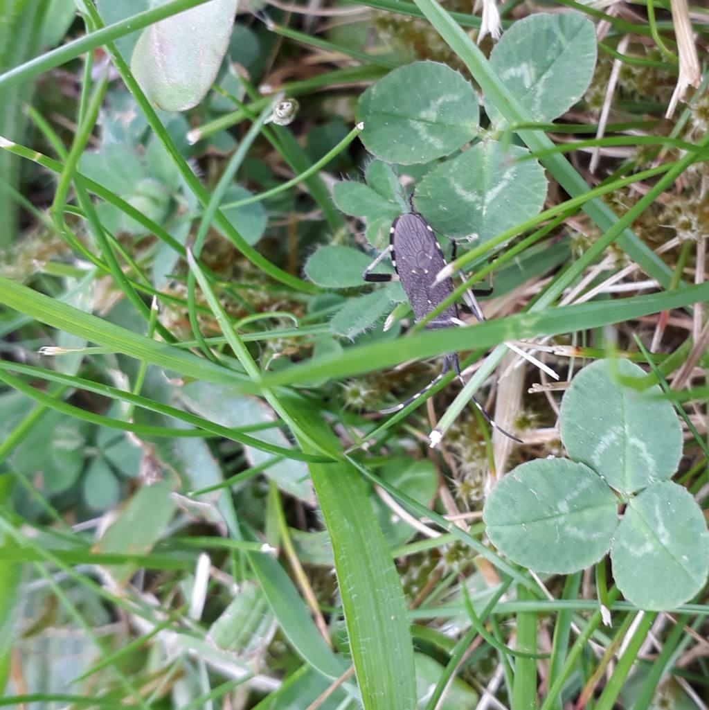 Identification punaise noire 20200418