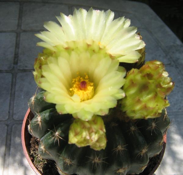 Notocactus crassigibus Img_1311