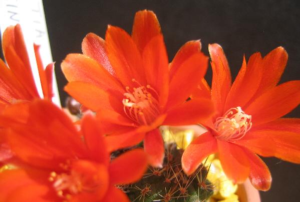 Titanopsis calcarea-Sulcorebutia arenacea Sulcor12