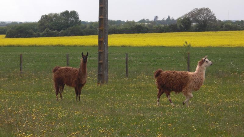Des lamas dans la Vienne... Cimg0019