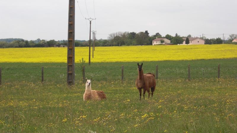 Des lamas dans la Vienne... Cimg0020