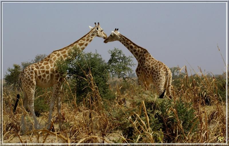 Girafes Girafe10