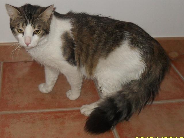 Mini Loup, chat mâle tigré gris, marron et blanc, 2 ans Sdc10124