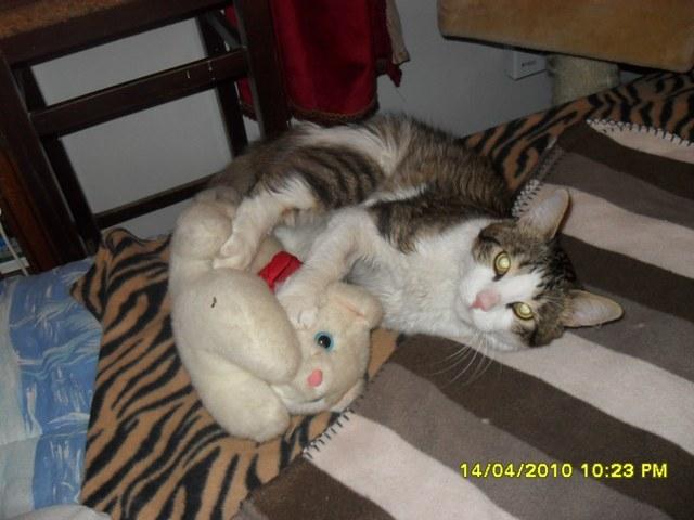 Mini Loup, chat mâle tigré gris, marron et blanc, 2 ans Sdc10125