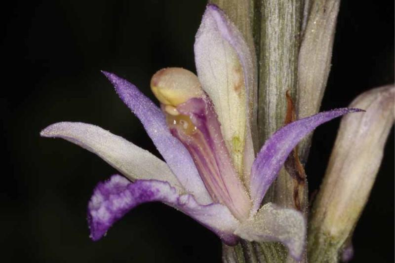 Limodorum trabutianum ( Limodore de Trabut ) Lim_tr14