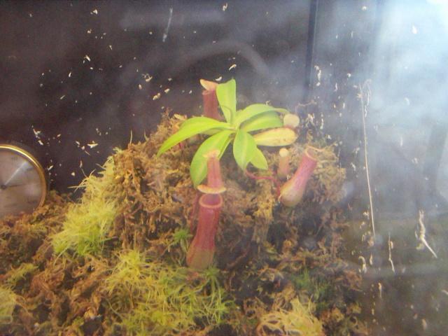 Ma Nepenthes Ventricosa 28_4_019