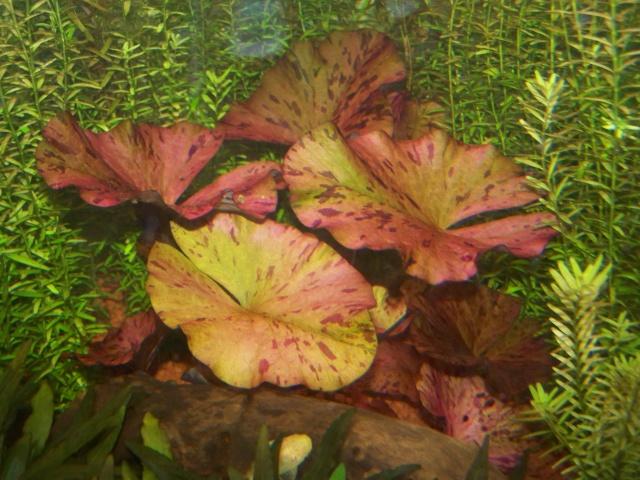 nymphaea lotus linné 100_2211