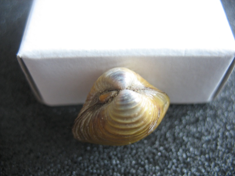 [résolu]Corbicula fluminea (O. F. MÜLLER, 1774). Coques12