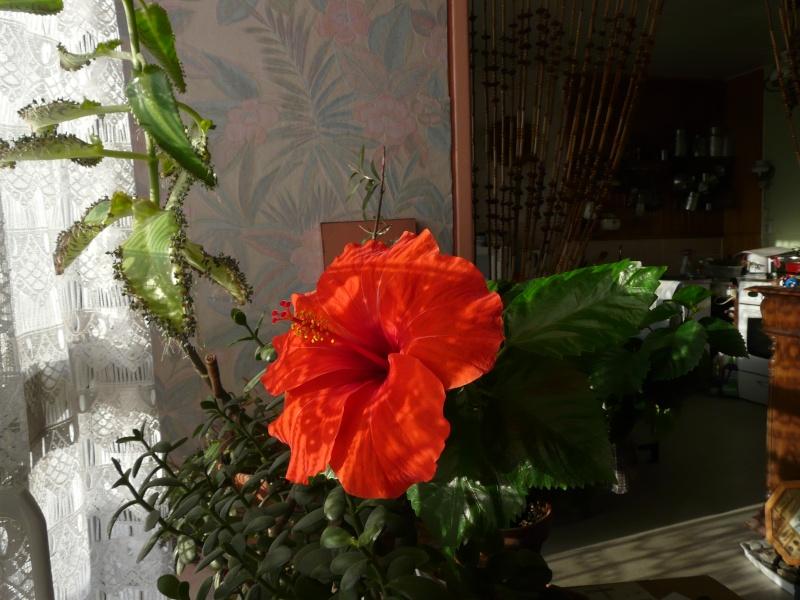 Mon Hibiscus en fleur Mer_1110