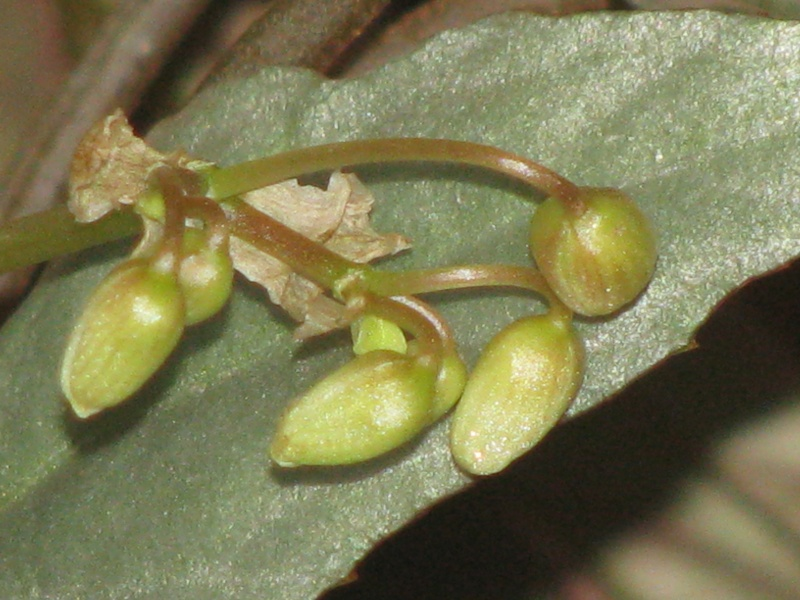 Begonia à feuillage argenté  ??? Img_9813