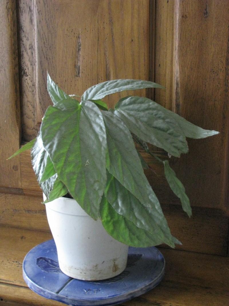 Begonia à feuillage argenté  ??? Img_9814