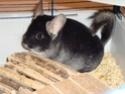 2 chinchillas : un black velvet  et un white wilson Dsc00310