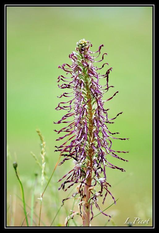 Himantoglossum hircinum  ( Orchis bouc ) Ob110