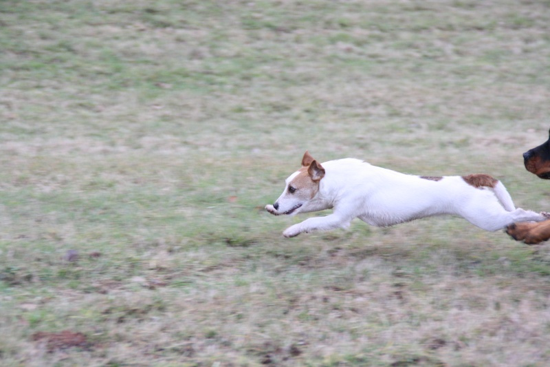 Le Jack Russel Terrier - Page 3 Img_7018