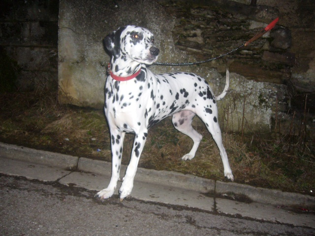 Roxette Dalmatienne née le 15/02/2004 (FA Igloo) Roxett11