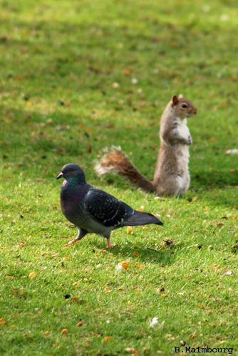 Revoilà noisette en pleine action Pigeon10