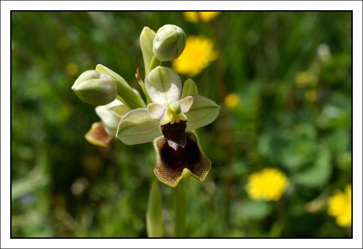 Ophrys tenthredinifera ( Ophrys guêpe ) Aude6111