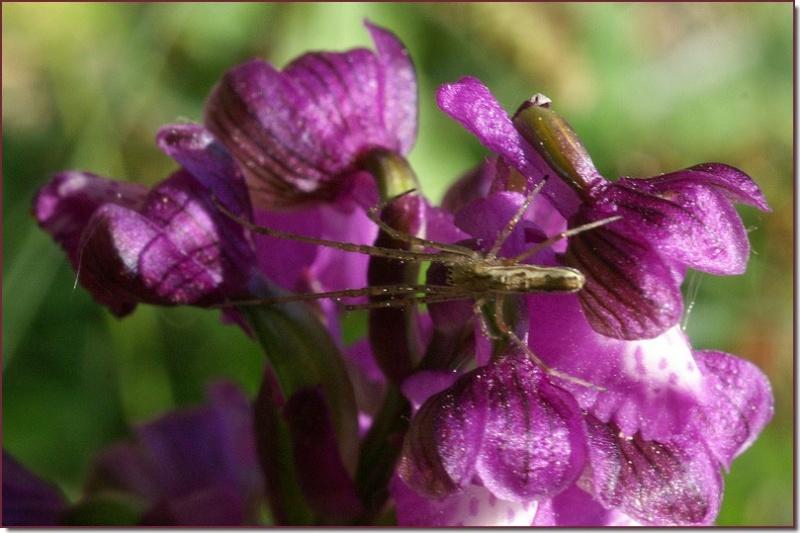 orchidées et araignées - Page 2 Copie_64