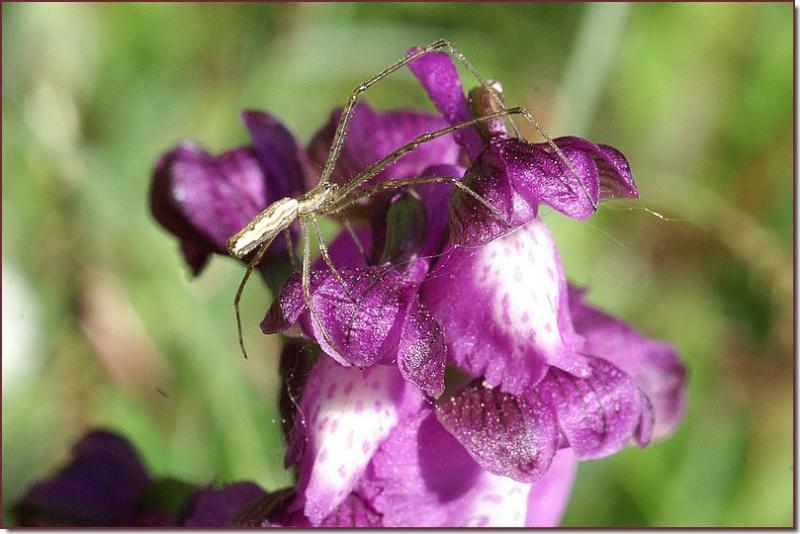 orchidées et araignées - Page 2 Copie_65