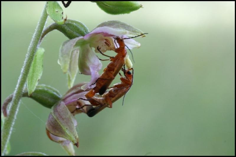 Epipactis, abreuvoirs à insectes - Page 2 Copie_67