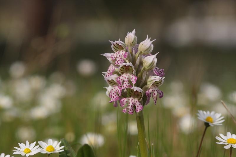 Neotinea lactea ( Orchis couleur de lait ) Img_7611