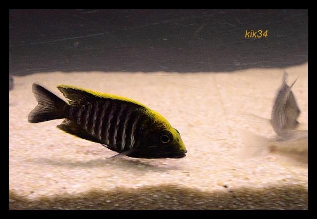 photos et videos de vos poissons du malawi Dscn0018