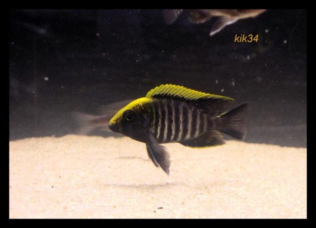 photos et videos de vos poissons du malawi Dscn0116