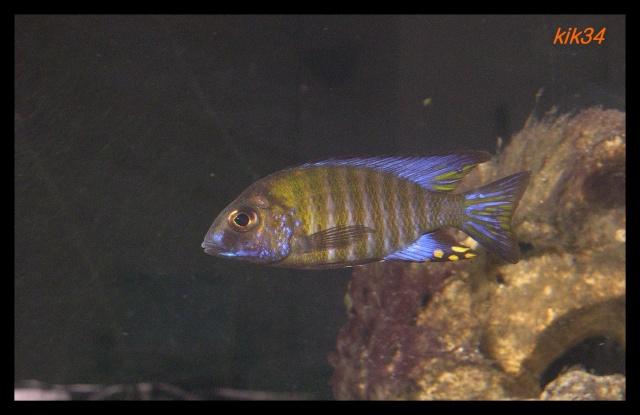 photos et videos de vos poissons du malawi Dscn4112