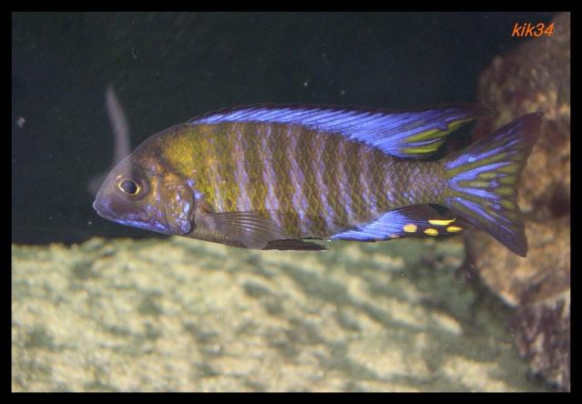 photos et videos de vos poissons du malawi Dscn4114