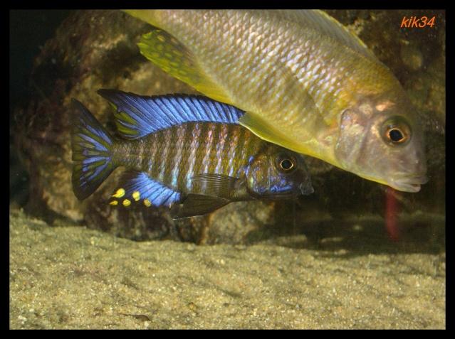 photos et videos de vos poissons du malawi Dscn4115