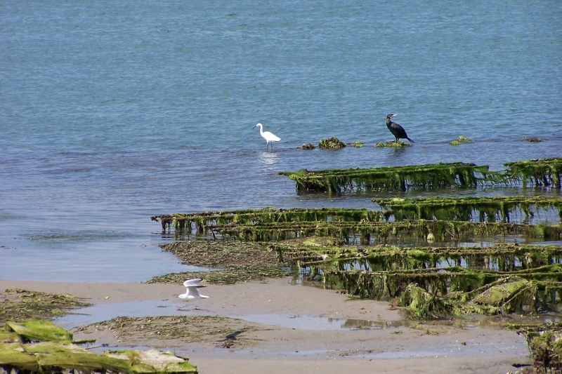 Oiseaux marins 56oise10