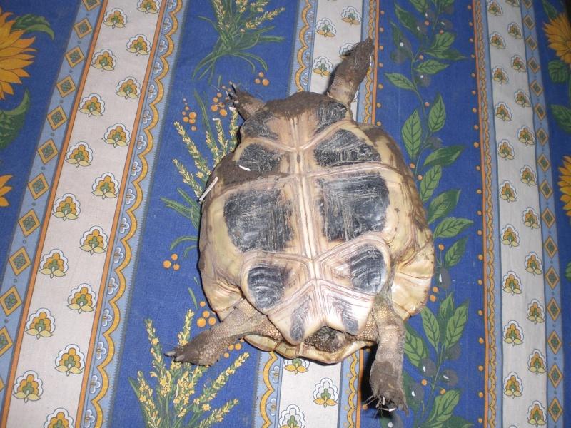 identification tortues de Caille 00710