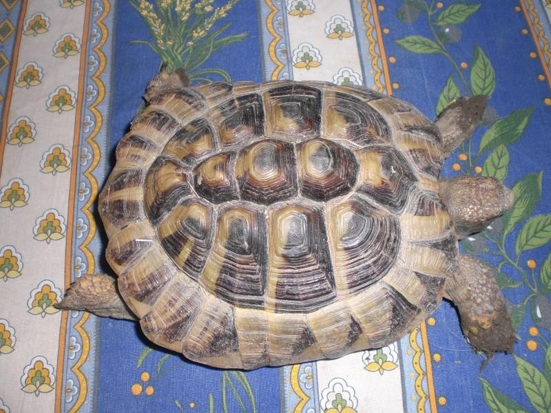 identification tortues de Caille 00910