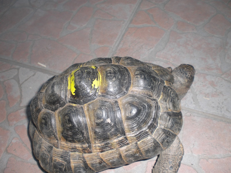 identification tortues de Caille 011_210