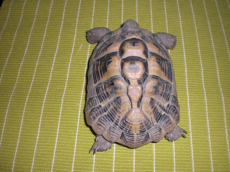 identification tortues de Caille - Page 2 01610