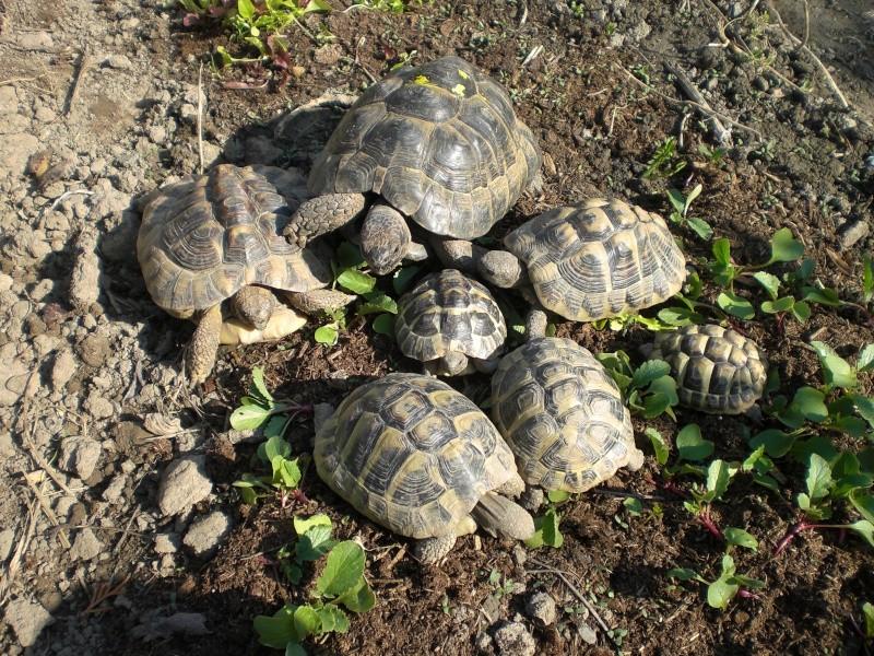 identification tortues de Caille 10010