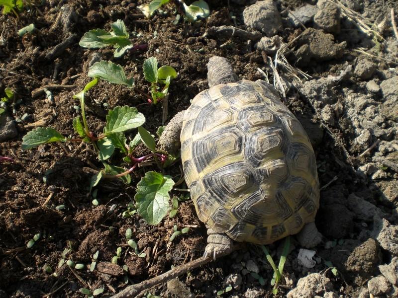 identification tortues de Caille 110