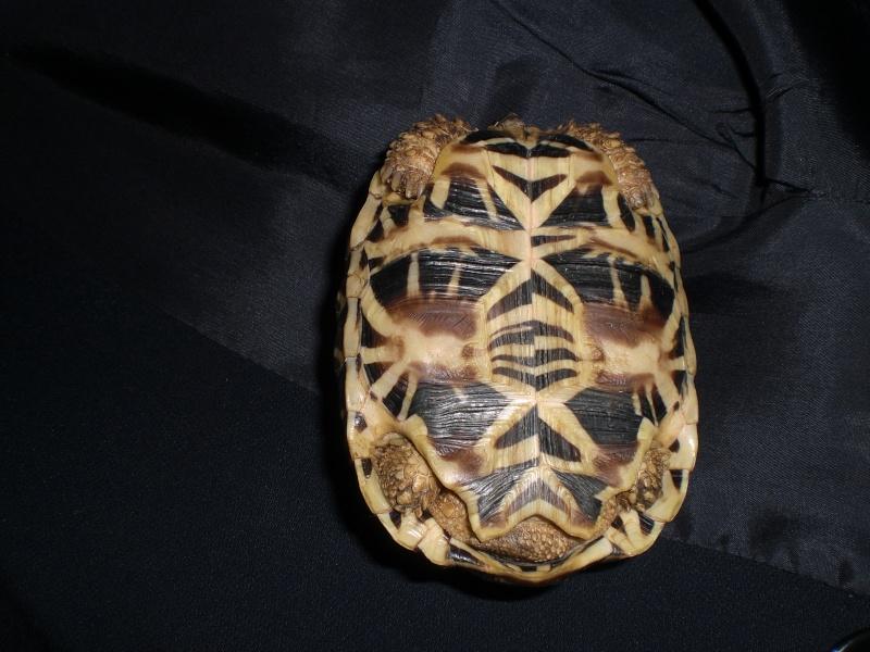 tortues étoilées d'Inde, mâle ou femelle? - Page 2 14910