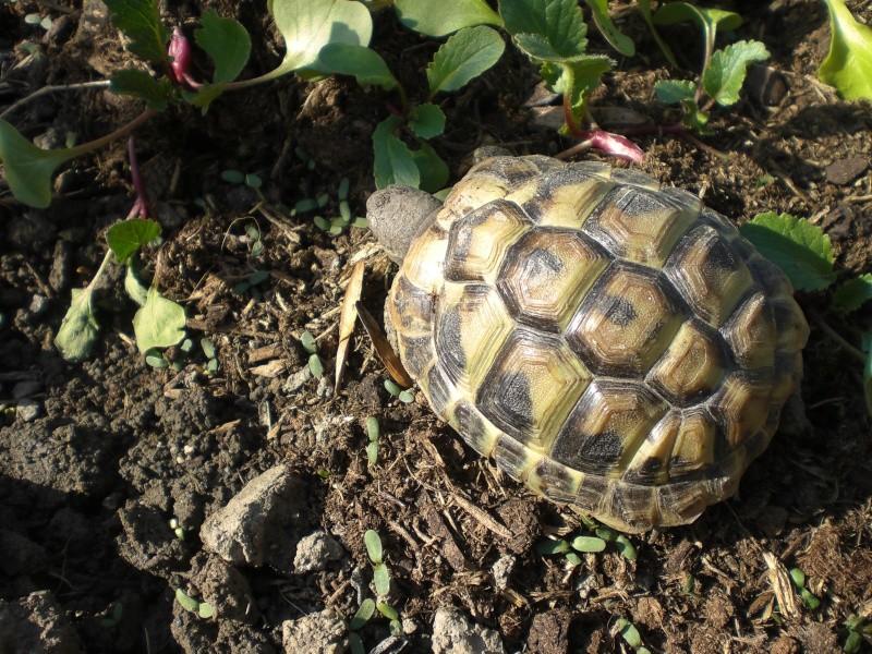 identification tortues de Caille 210