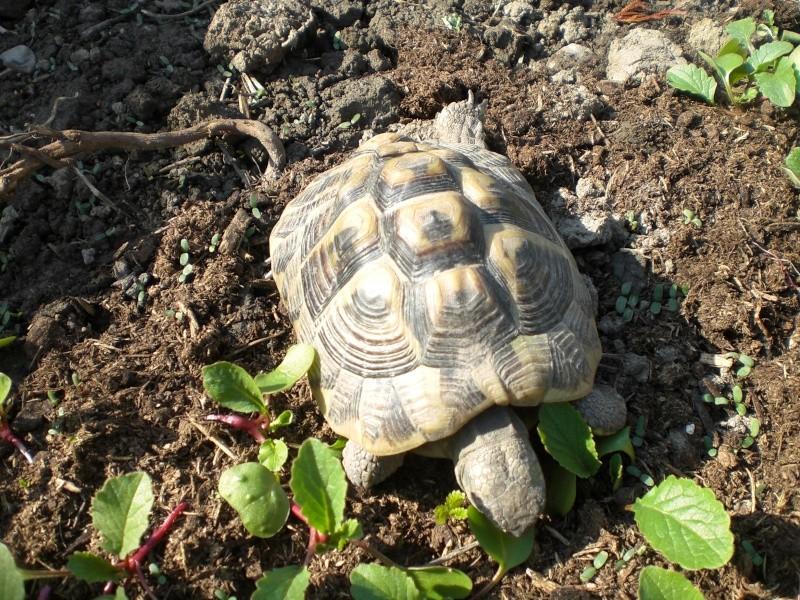 identification tortues de Caille 310