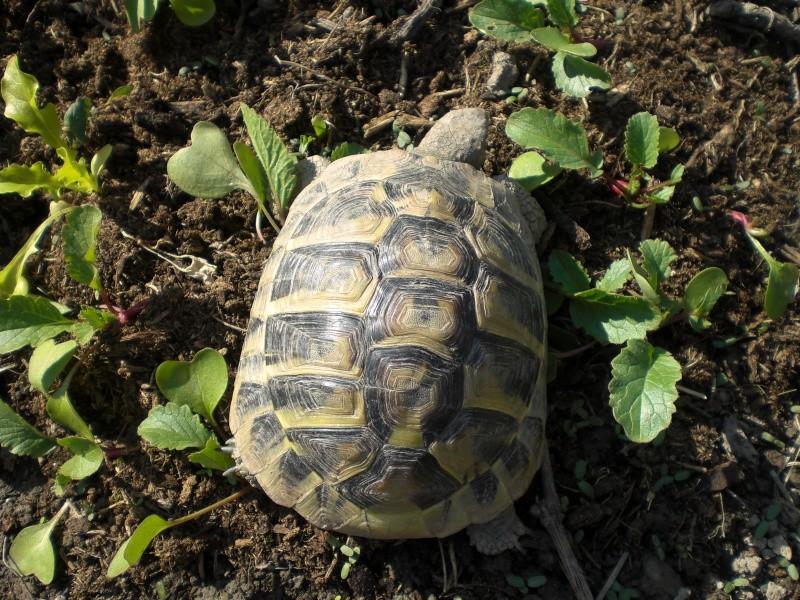 identification tortues de Caille 410