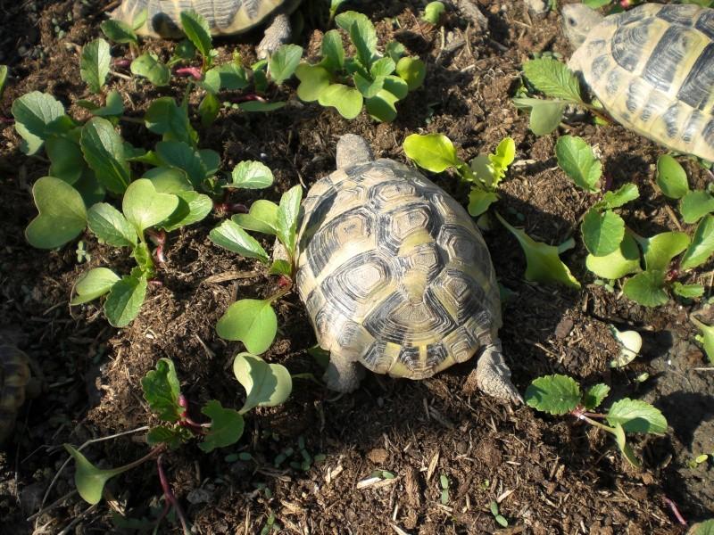 identification tortues de Caille 510