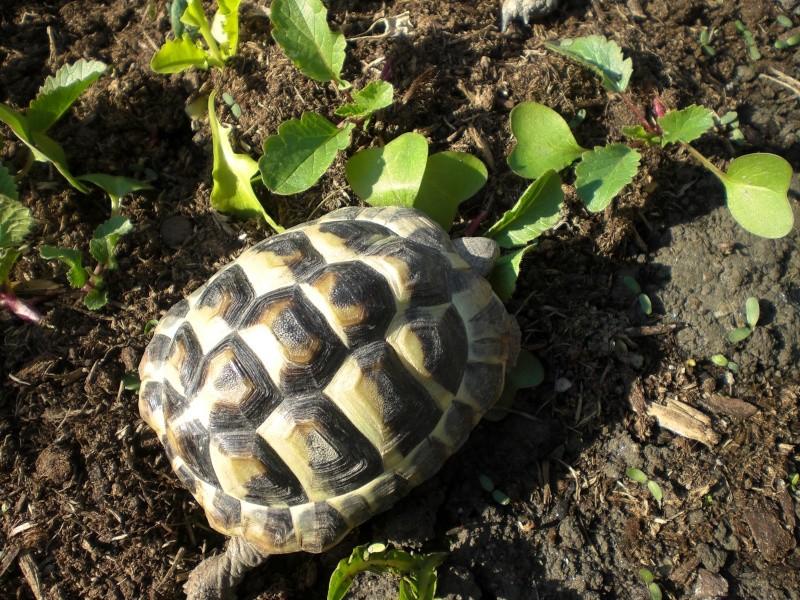 identification tortues de Caille 610