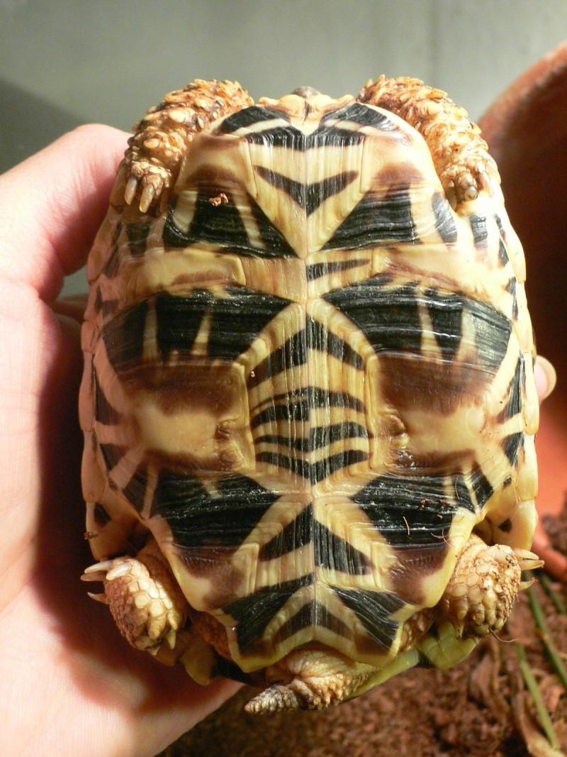 tortues étoilées d'Inde, mâle ou femelle? P1110111