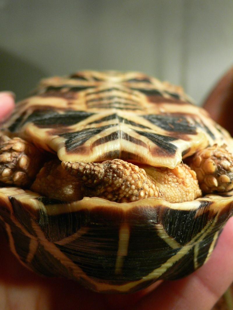 tortues étoilées d'Inde, mâle ou femelle? P1110112
