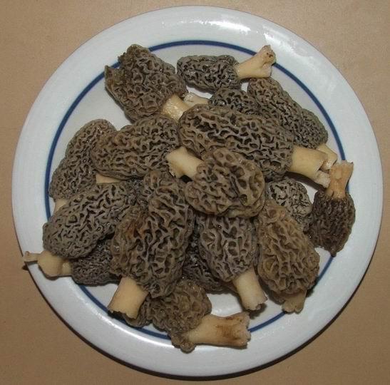 champignon Morill10